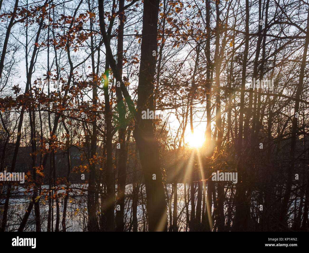 autumn sunset light through forest trees scene beauty landscape sun flare; essex; england; uk - Stock Image