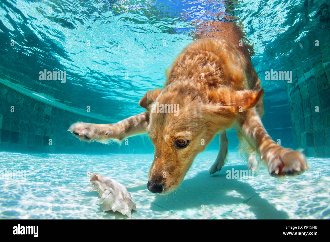 Golden labrador retriever puppy in swimming pool has fun. Dog jump, dive underwater to fetch ball. Dog training - Stock Image