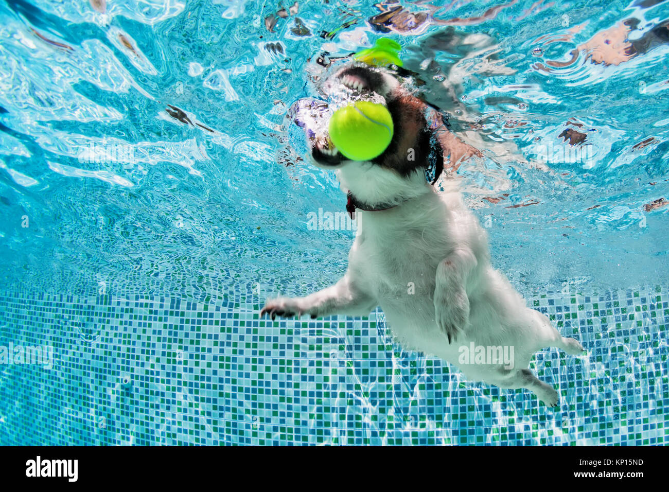 Playful jack russell terrier puppy in swimming pool has fun. Dog jump, dive underwater to fetch ball. Training classes, - Stock Image