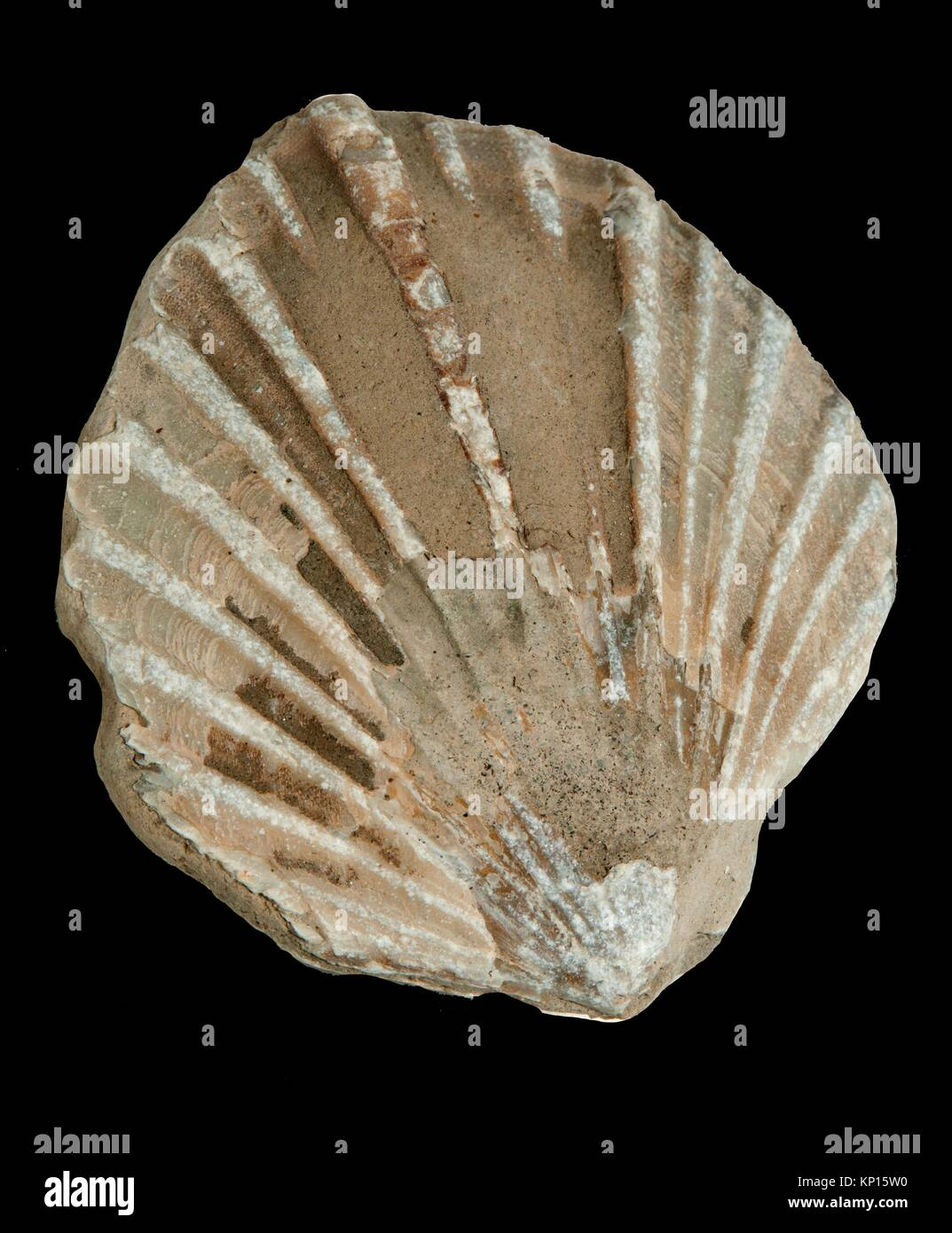 Shell fossil, Newport, Oregon. - Stock Image