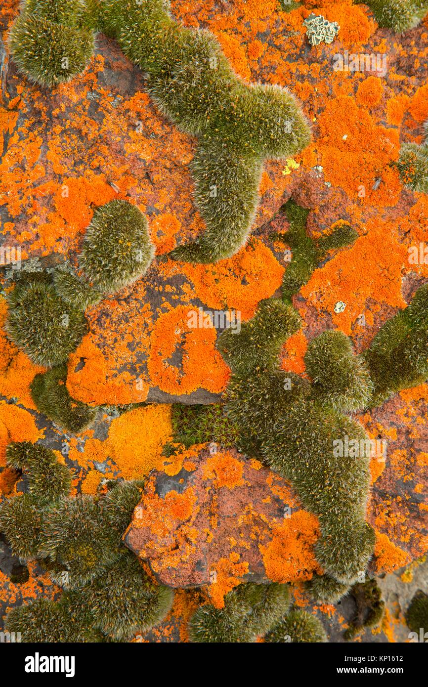 Lichen, Warner Wetlands Area of Critical Environmental Concern, Lakeview to Steens National Back Country Byway, - Stock Image