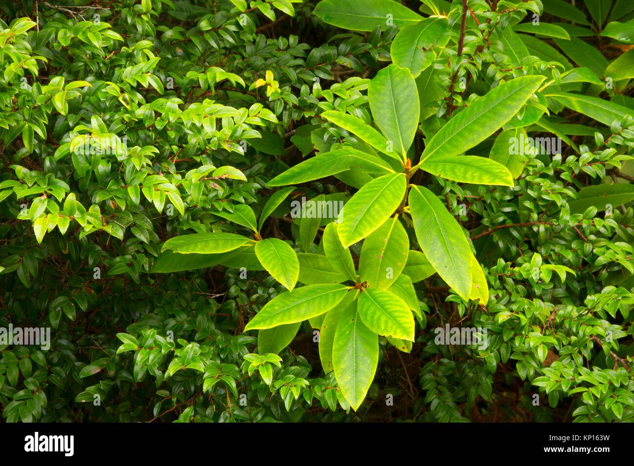 Pacific rhododendron with evergreen huckleberry (Vaccinium ovatum) along North Trail, New River Area of Critical - Stock Image