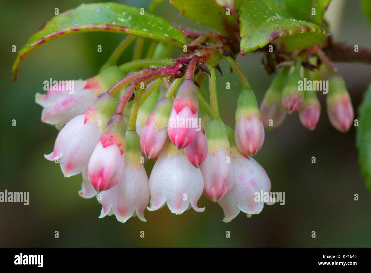 Evergreen huckleberry (Vaccinium ovatum) blooms along Muddy Lake Trail, New River Area of Critical Environmental - Stock Image