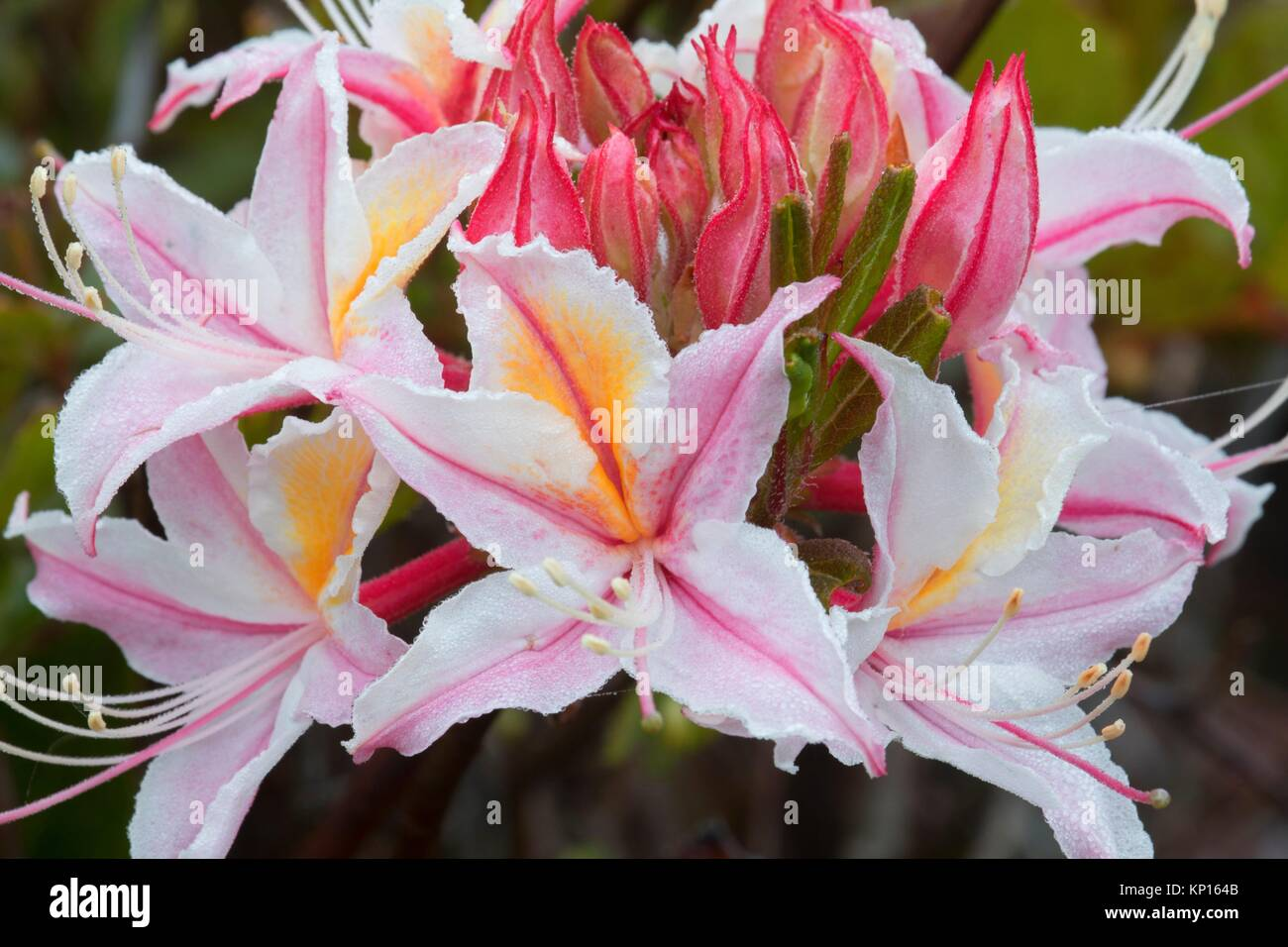 Western azalea (Rhododendron occidentale), Otter Point State Park, Oregon. - Stock Image