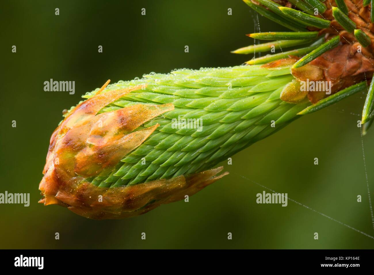 Sitka spruce (Picea sitchensis) needles, Otter Point State Park, Oregon. - Stock Image