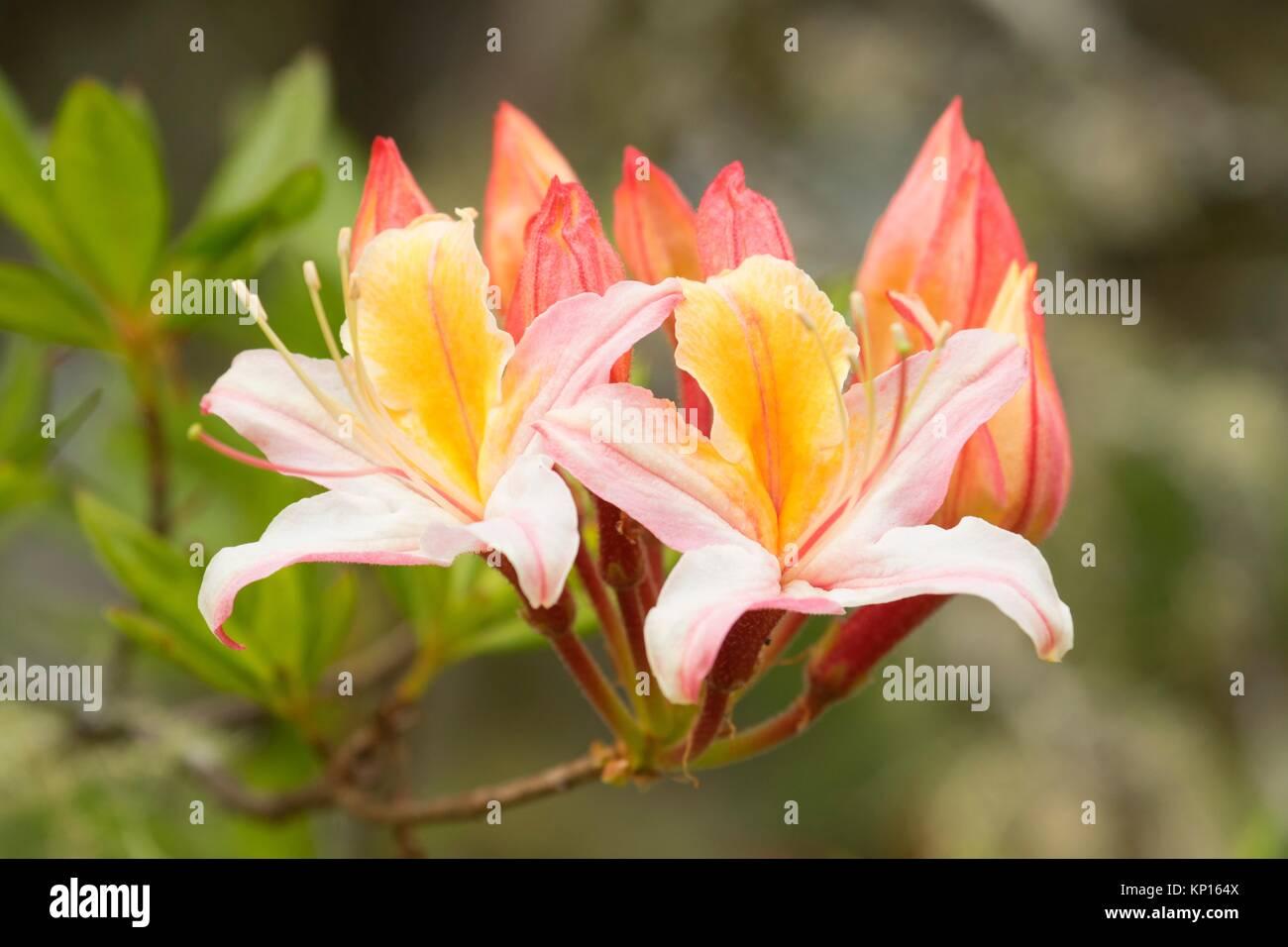 Western azalea (Rhododendron occidentale), Azalea Park, Brookings, Oregon. - Stock Image