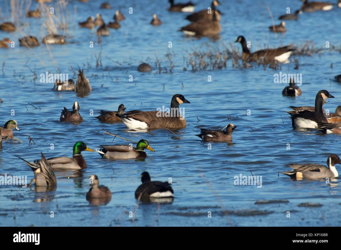 Winter waterfowl at McFadden Marsh, William Finley National Wildlife Refuge, Oregon. - Stock Image