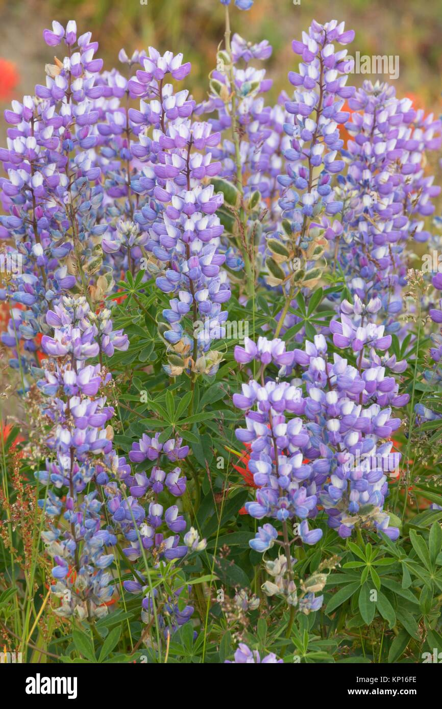 Lupine at Loowit Viewpoint, Spirit Lake Memorial Highway, Mt St Helens National Volcanic Monument, Washington. - Stock Image