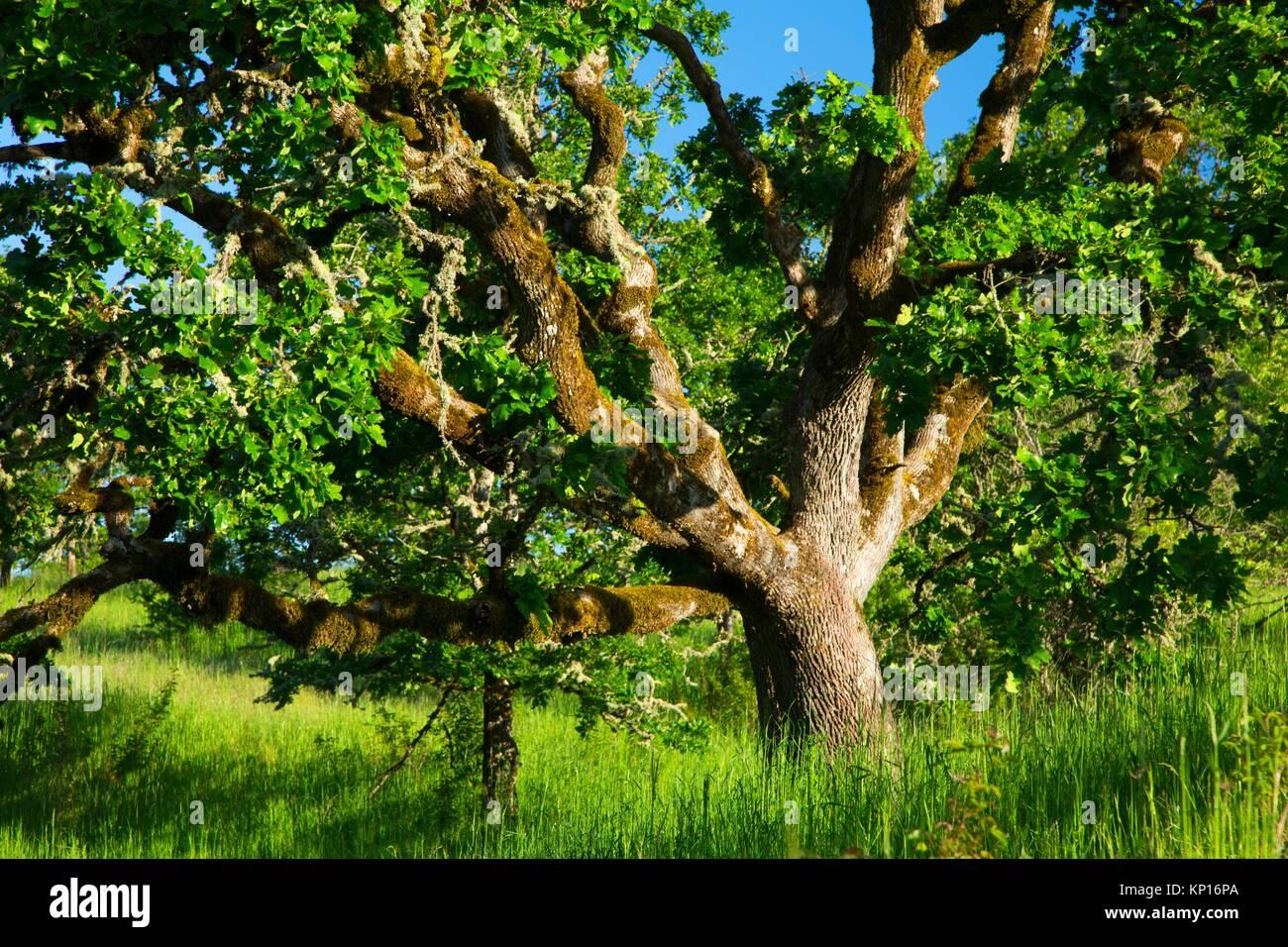 Oregon oak along Rich Guadagno Memorial Trail, Baskett Slough National Wildlife Refuge, Oregon. - Stock Image