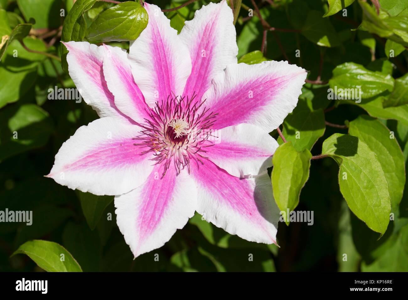 Carnaby clematis, Schreiners Iris Gardens, Keizer, Oregon. - Stock Image