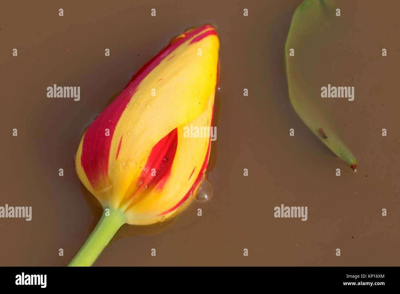 Tulip in mud puddle, Wooden Shoe Bulb Co. , Clackamas County, Oregon. - Stock Image
