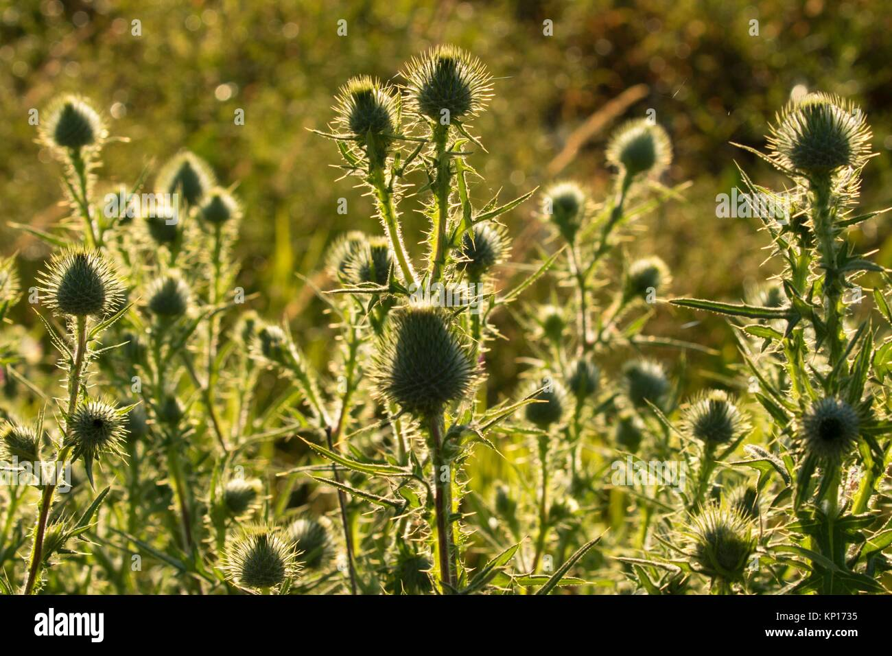 Thistle, Ankeny National Wildlife Refuge, Oregon. - Stock Image