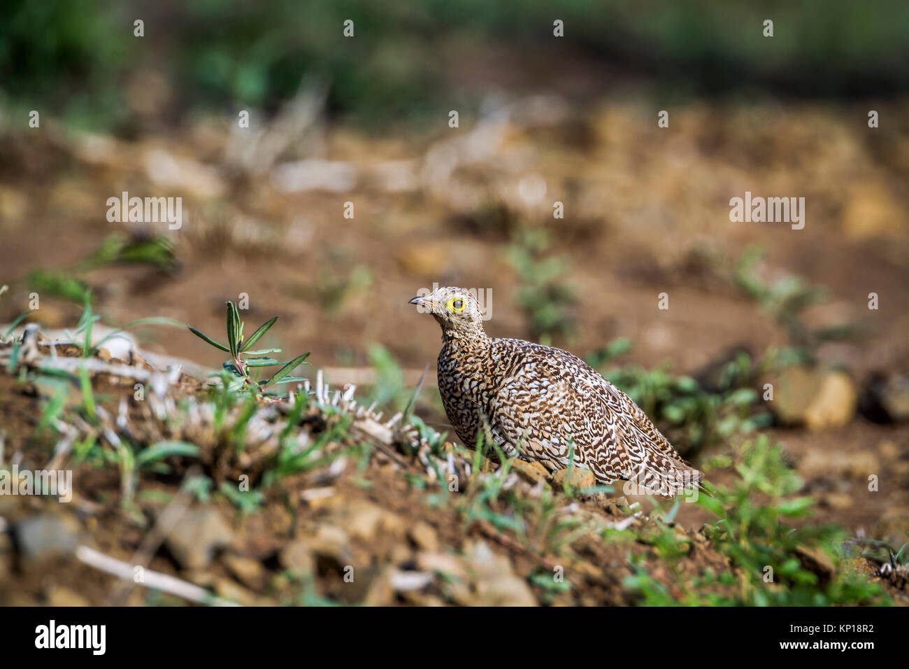 Double-banded sandgrouse in Kruger national park, South Africa ; Specie Pterocles bicinctus family of Pteroclidae Stock Photo