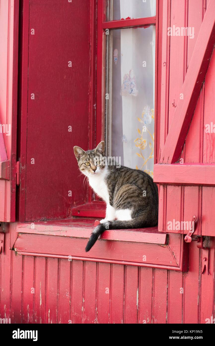 Tabby cat watching from magenta wooden clad window sill with traditional shutters, Amiens, France. - Stock Image