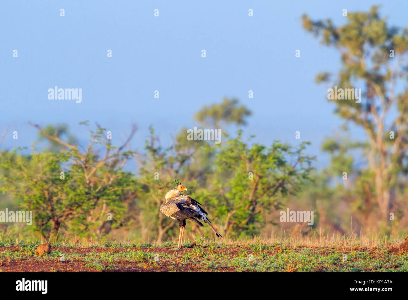 Secretary bird in Kruger national park, South Africa ; Specie Sagittarius serpentarius family of Sagittariidae Stock Photo