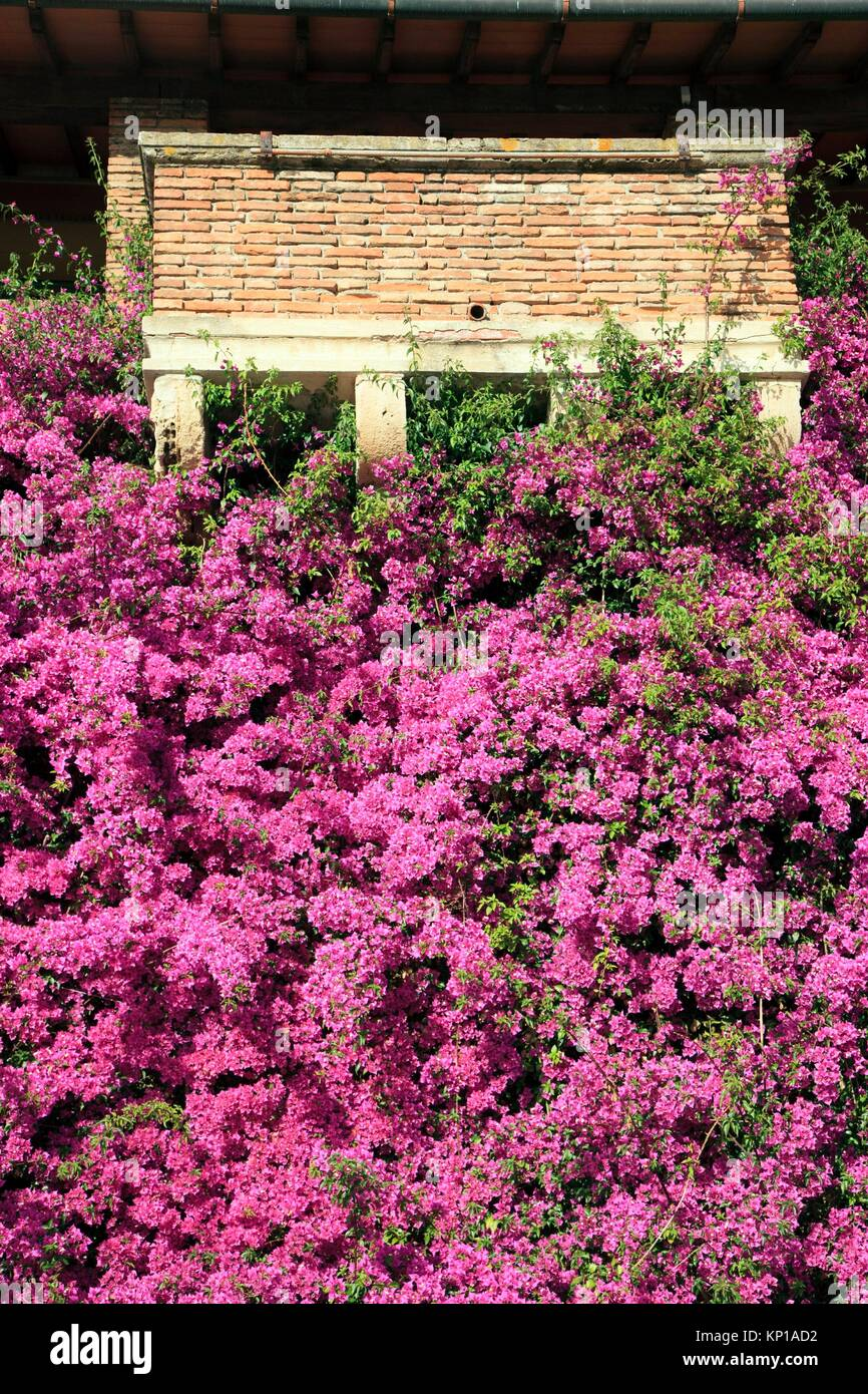 Europe, Italy, Tuscany, Livorno city, the flowers and terrace. - Stock Image