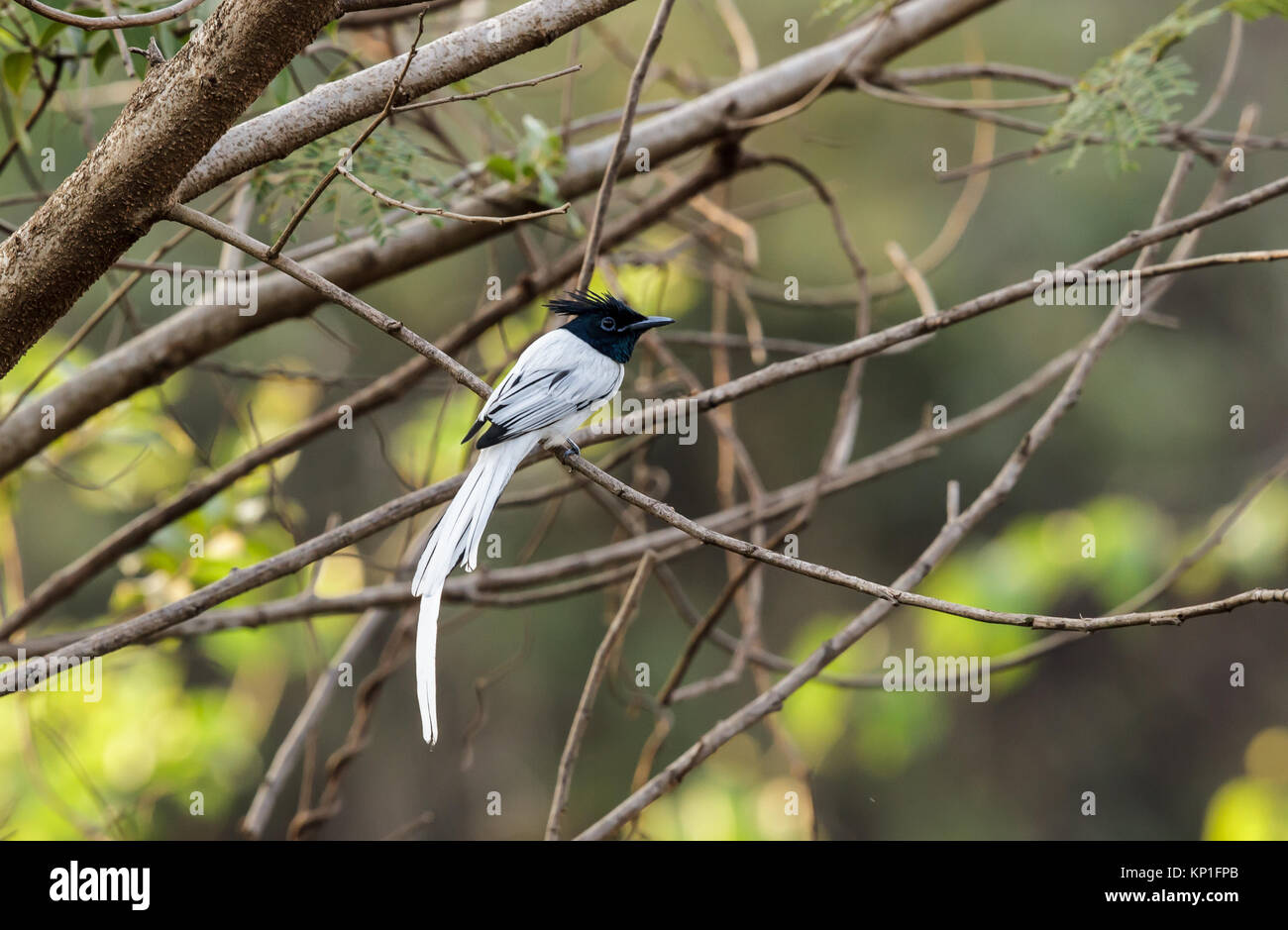 A Indian paradise flycatcher, white morph - Stock Image