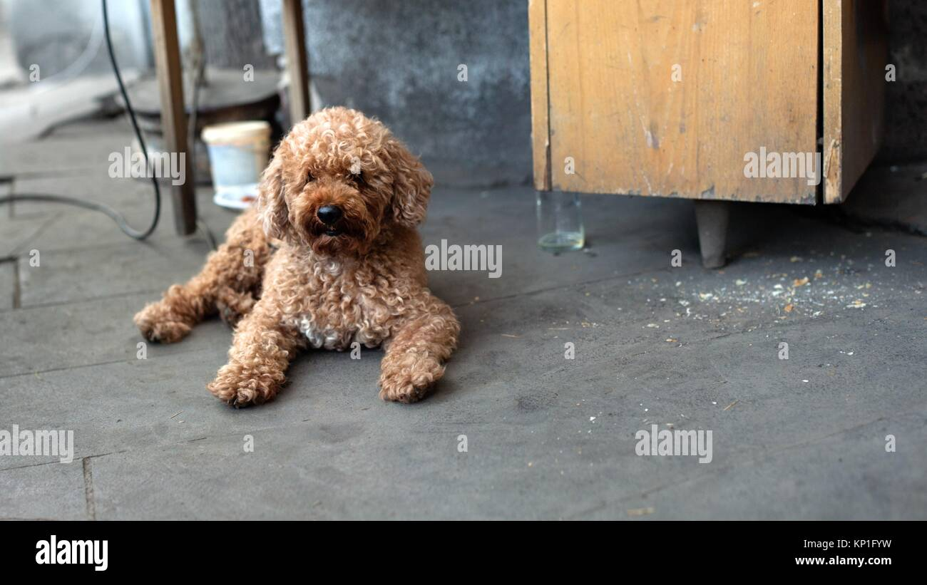 c6af99b8fde Brown curly dog laying down on the ground Stock Photo  168450237 - Alamy