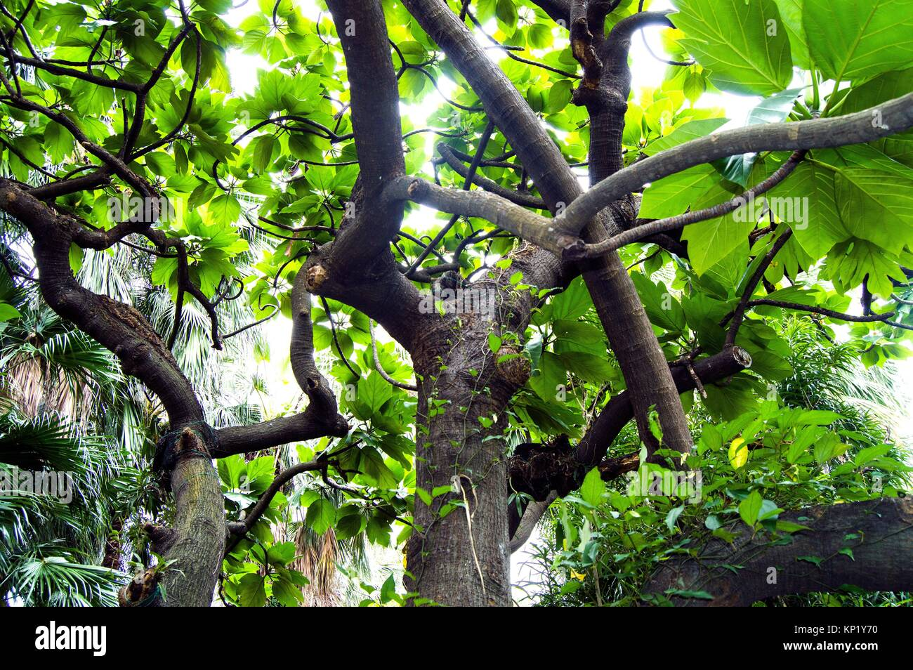 Polypodiaceae tree, botanical gardens, Wanhua, Taipei, Taiwan - Stock Image