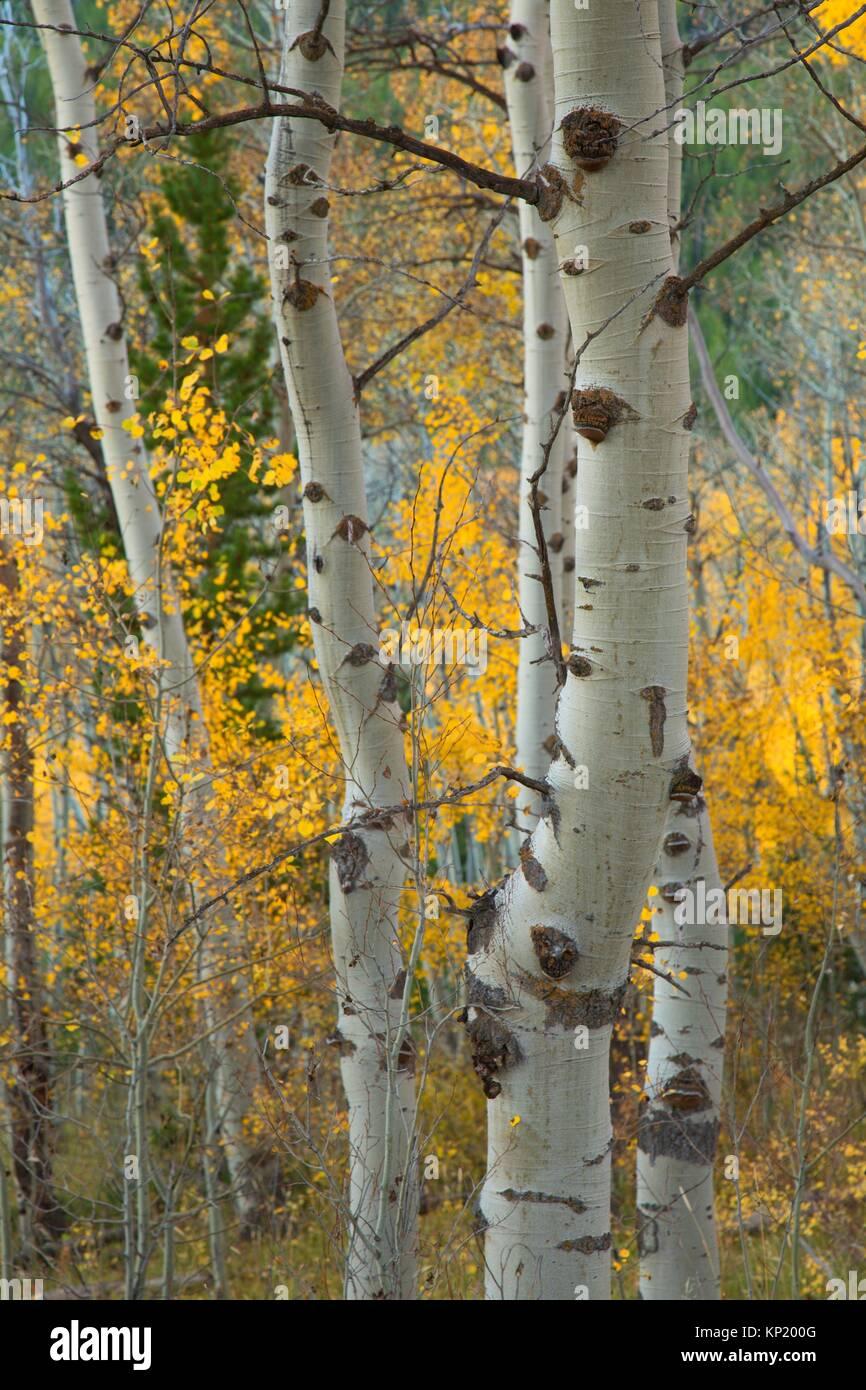 Quaking aspen trunks, Targhee National Forest, Idaho. - Stock Image
