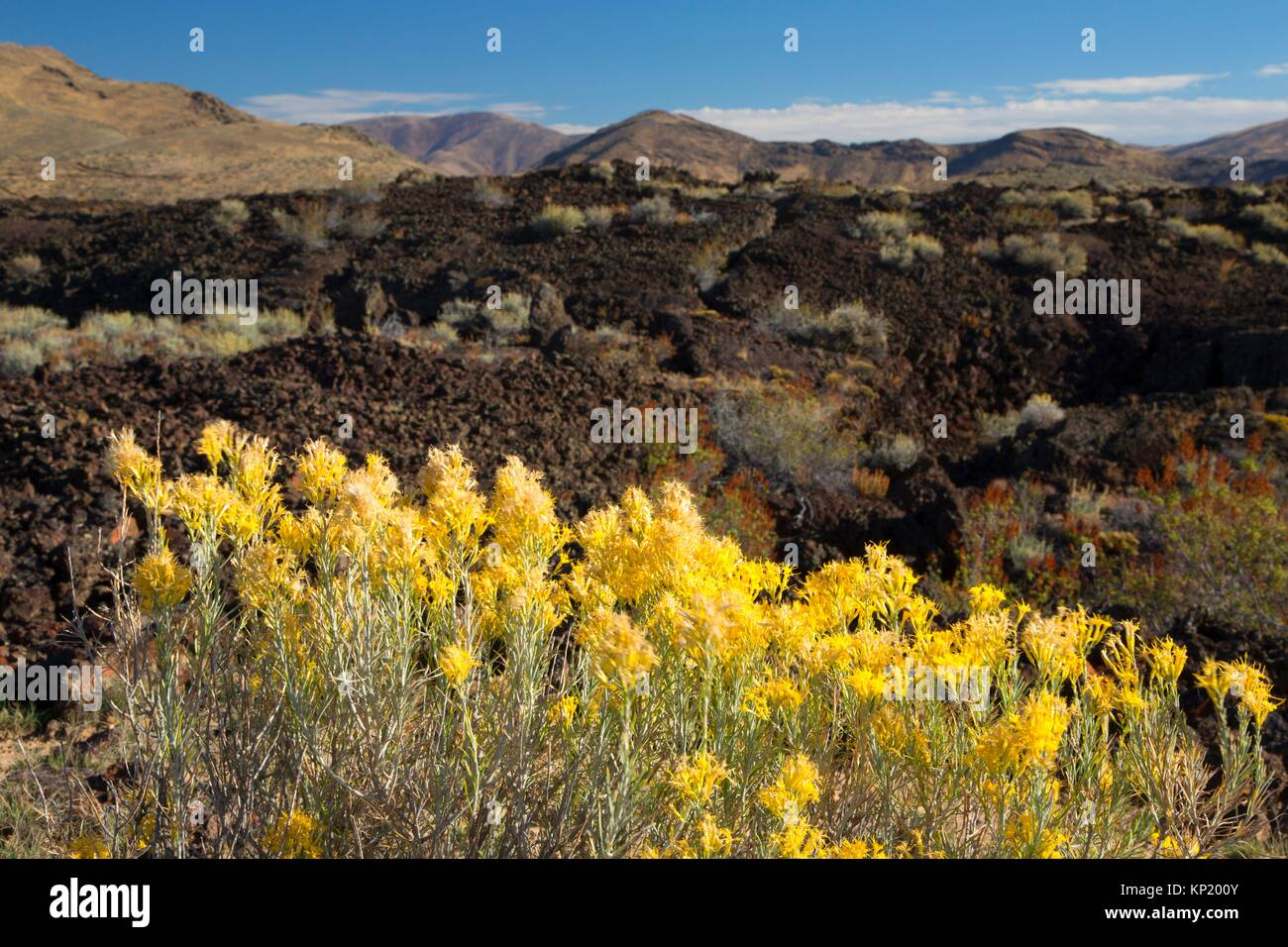 Rabbitbrush on lava flow, Craters of the Moon National Preserve, Peaks to Craters Scenic Byway, Idaho. - Stock Image