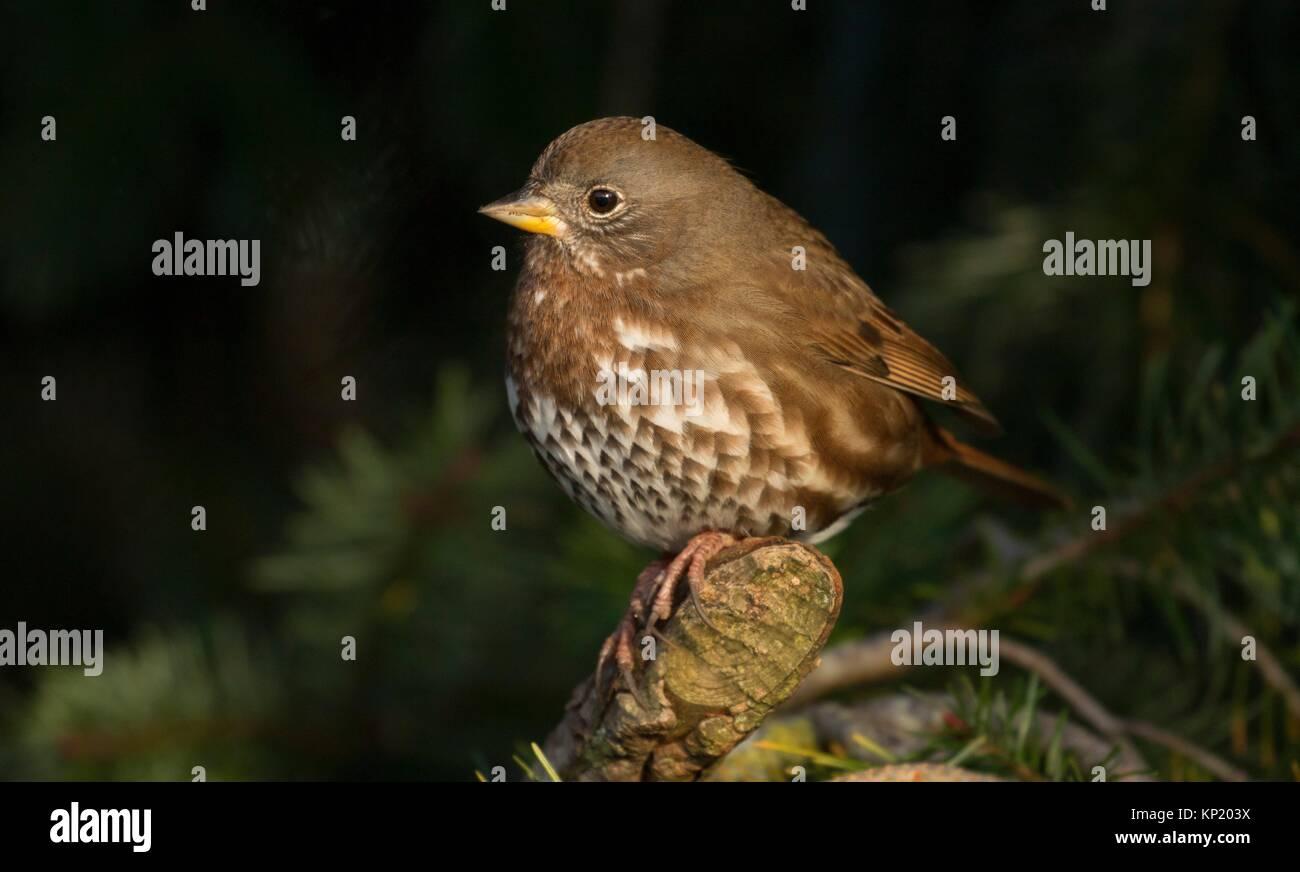 Hermit thrush, George C Reifel Migratory Bird Sanctuary, British Columbia, Canada. - Stock Image