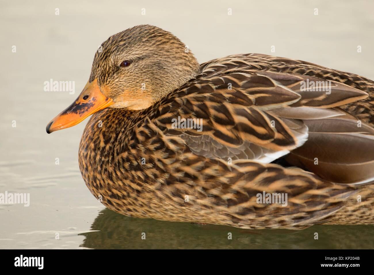 Mallard, George C Reifel Migratory Bird Sanctuary, British Columbia, Canada. - Stock Image