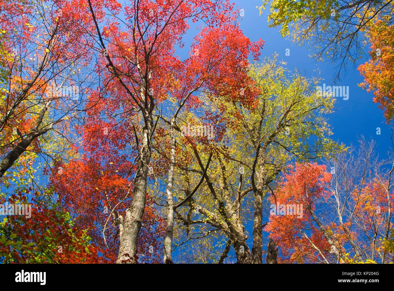 Sugar maple, Browns Tract Campground, Adirondack Forest Preserve, New York. - Stock Image