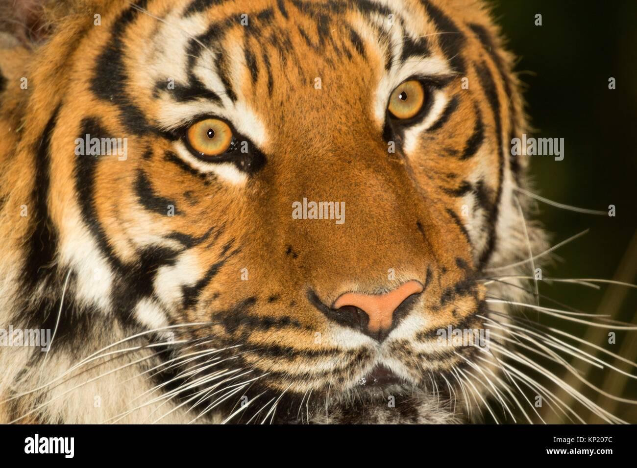 Malayan tiger, Woodland Park Zoo, Seattle, Washington. Stock Photo