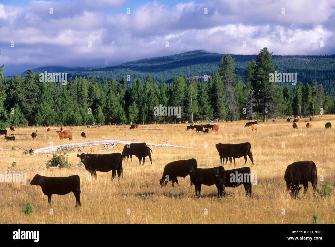 Logan Valley cattle, Malheur National Forest, Oregon. - Stock Image