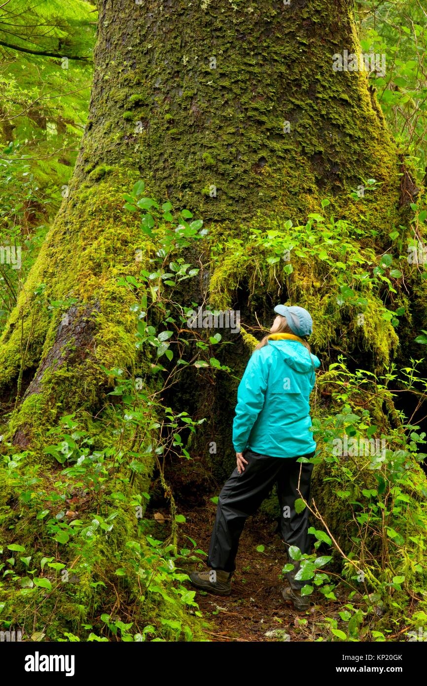 Sitka spruce (Picea sitchensis), Oswald West State Park, Oregon. - Stock Image