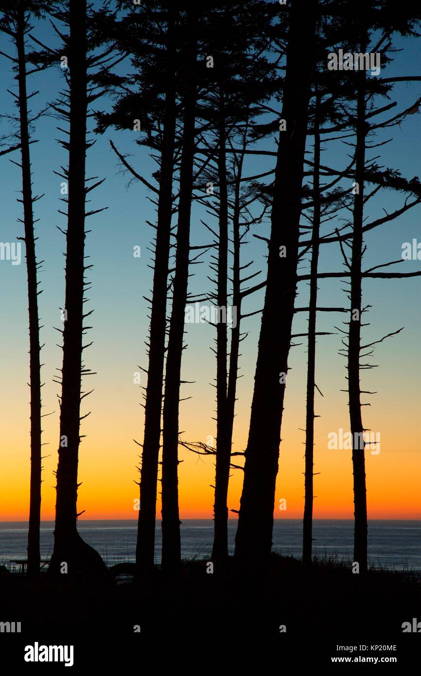 Sitka spruce sunset, Cape Lookout State Park, Oregon. - Stock Image
