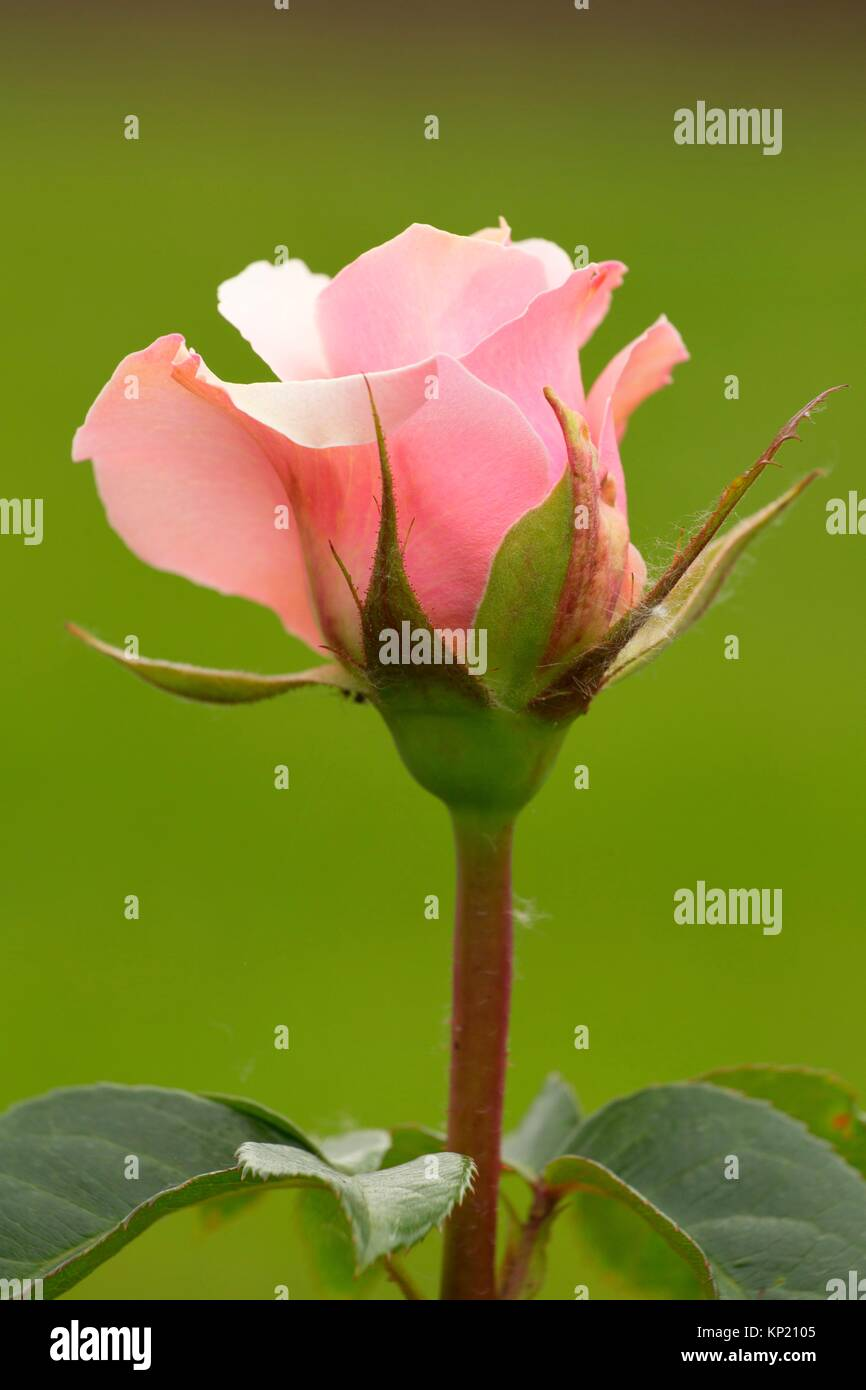 Lady Jane Grey rose, Heirloom Roses, St Paul, Oregon. - Stock Image