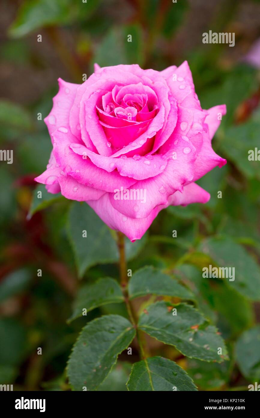 The Colwyn Rose, Heirloom Roses, St Paul, Oregon. - Stock Image