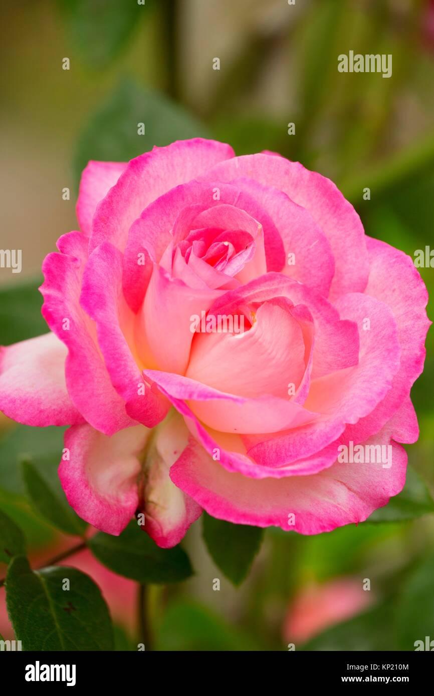 Kiss of Desire rose, Heirloom Roses, St Paul, Oregon. - Stock Image
