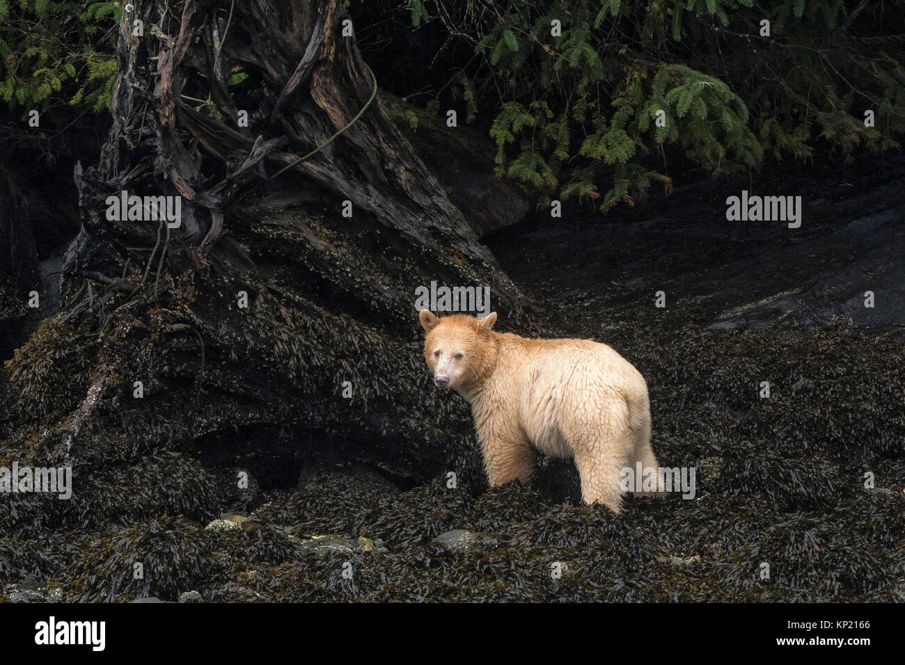 One Kermode Spirit Bear In The Great Rainforest British Columbia Canada