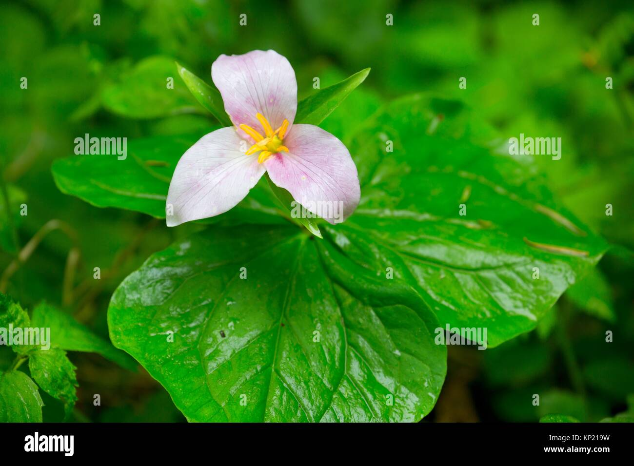 Western trillium in bloom along Harris Ranch Trail, Siuslaw National Forest, Oregon. Stock Photo