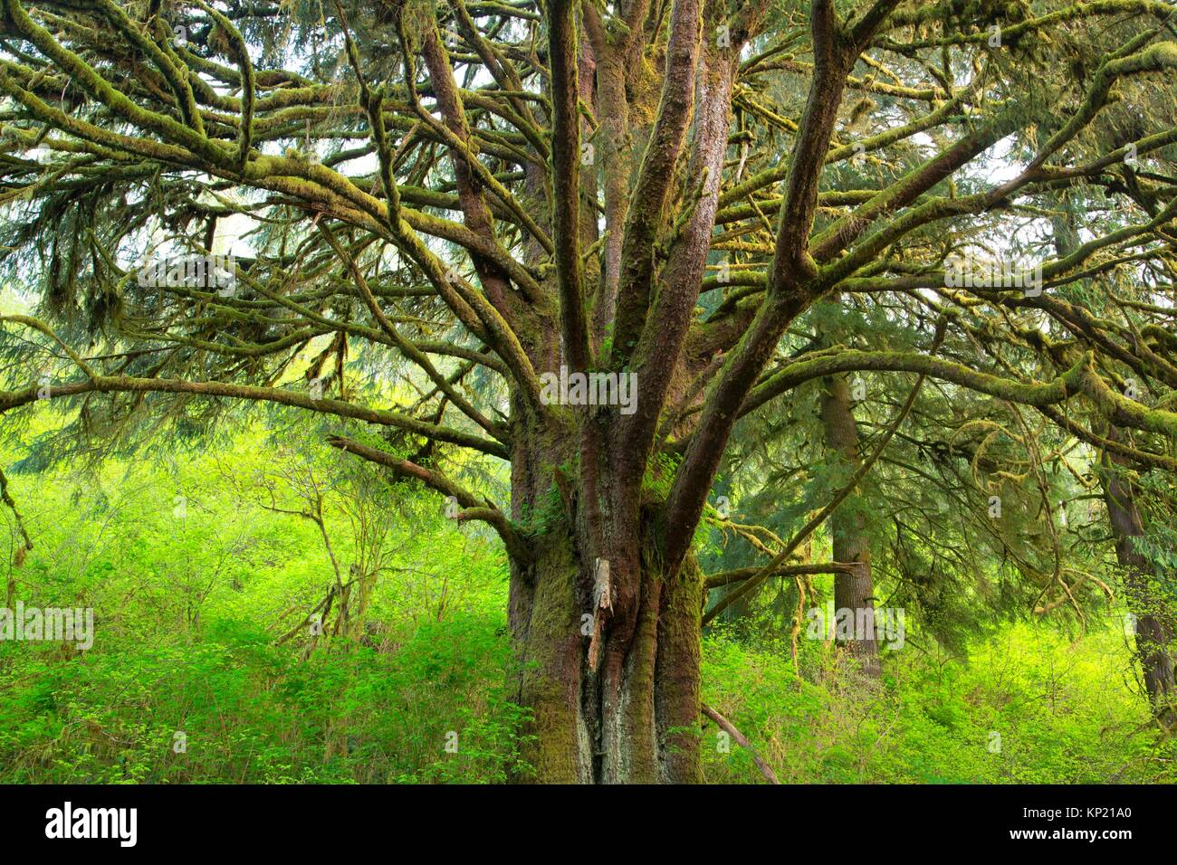 Sitka spruce (Picea sitchensis), Lincoln County, Oregon. - Stock Image