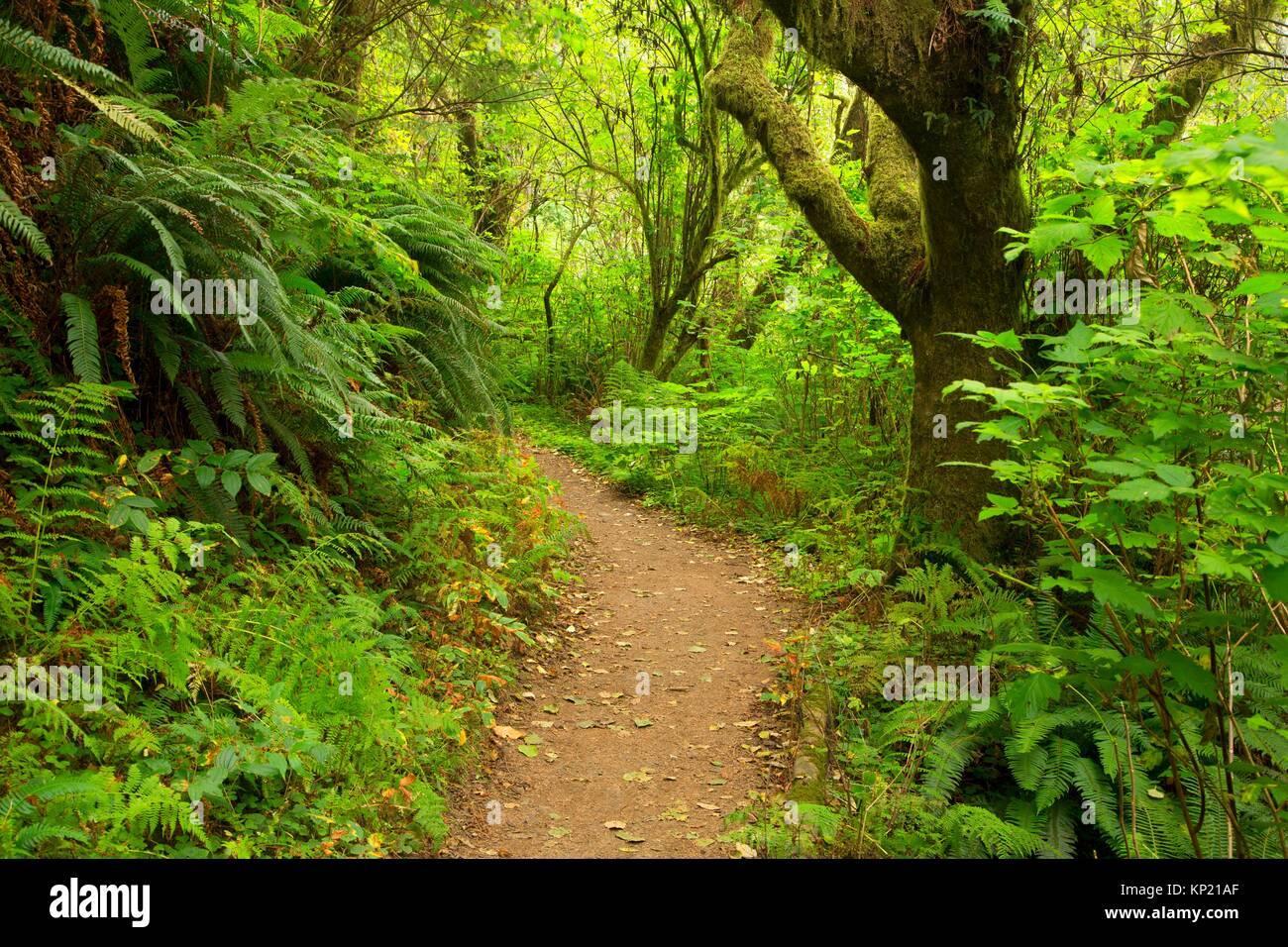 Giant Spruce Trail, Cape Perpetua Scenic Area, Siuslaw National Forest, Oregon. - Stock Image