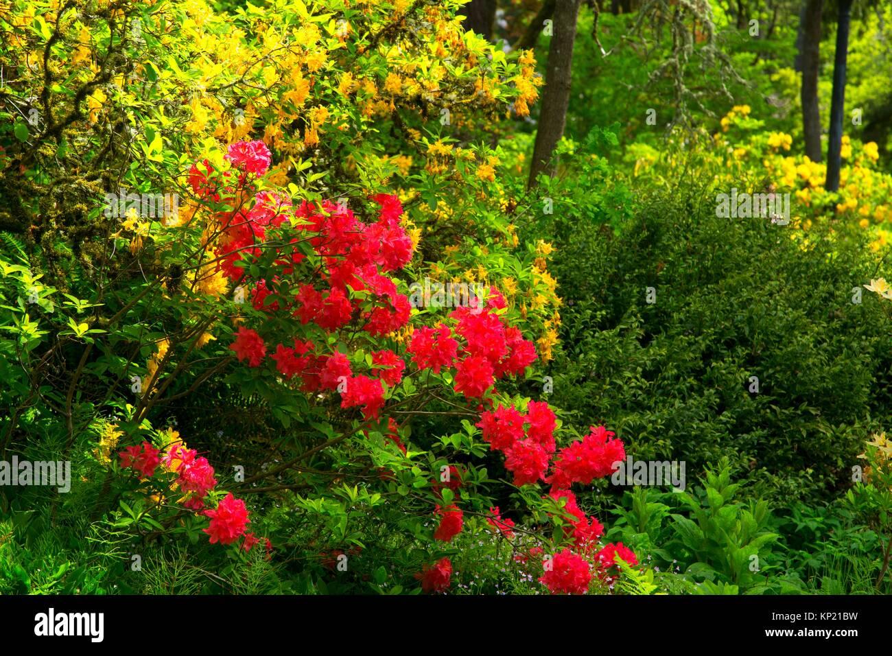Azalea and rhododendron bloom, Rhododendron Garden, Hendricks Park, Eugene, Oregon. - Stock Image