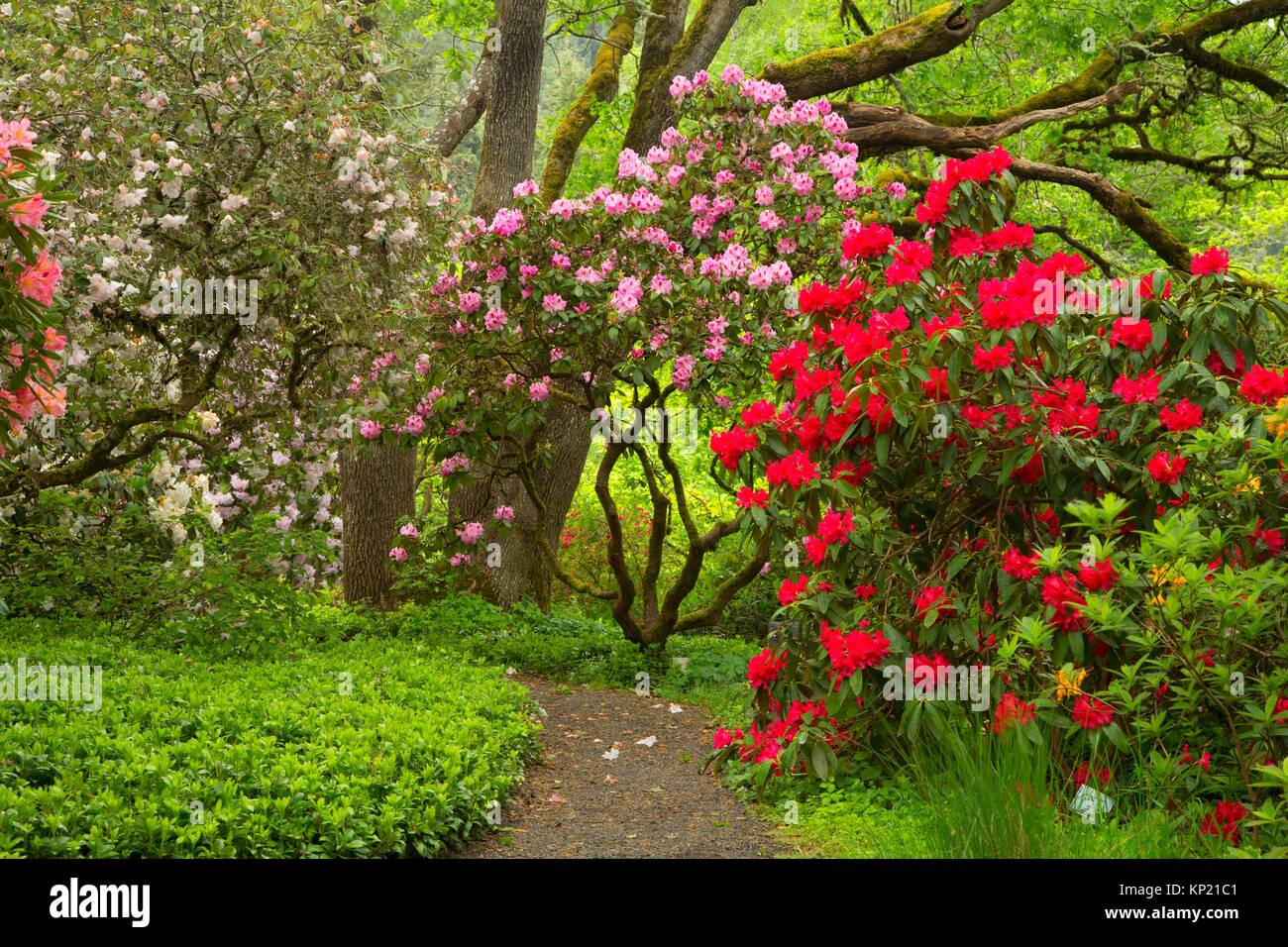 Rhododendron bloom with garden path, Rhododendron Garden, Hendricks Park, Eugene, Oregon. - Stock Image