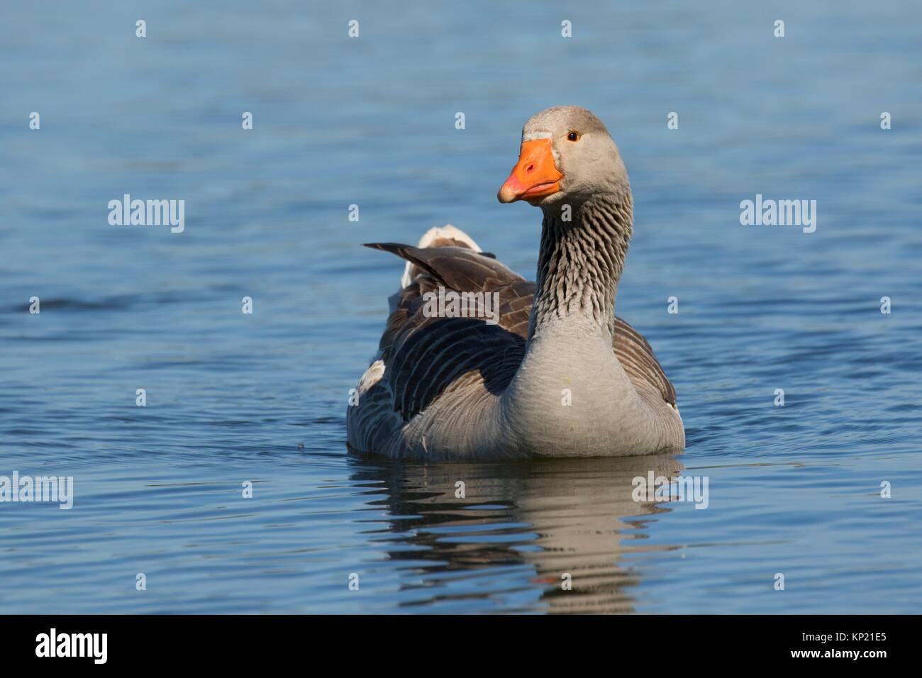 Domestic duck, Junction City Pond, Oregon. - Stock Image