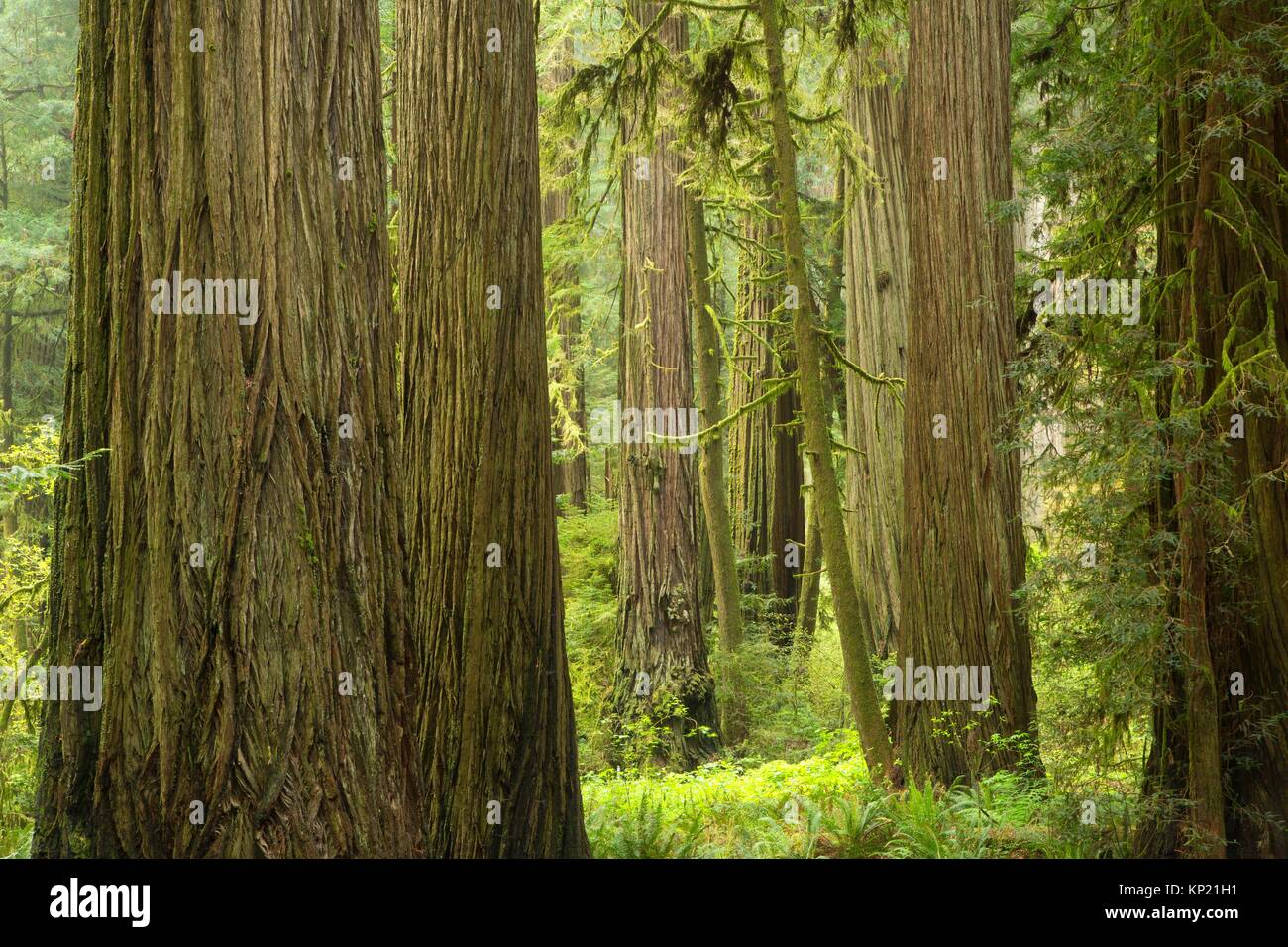 Coast redwood (Sequoia sempervirens) forest, Jedediah Smith Redwoods State Park, Redwood National Park, California. - Stock Image