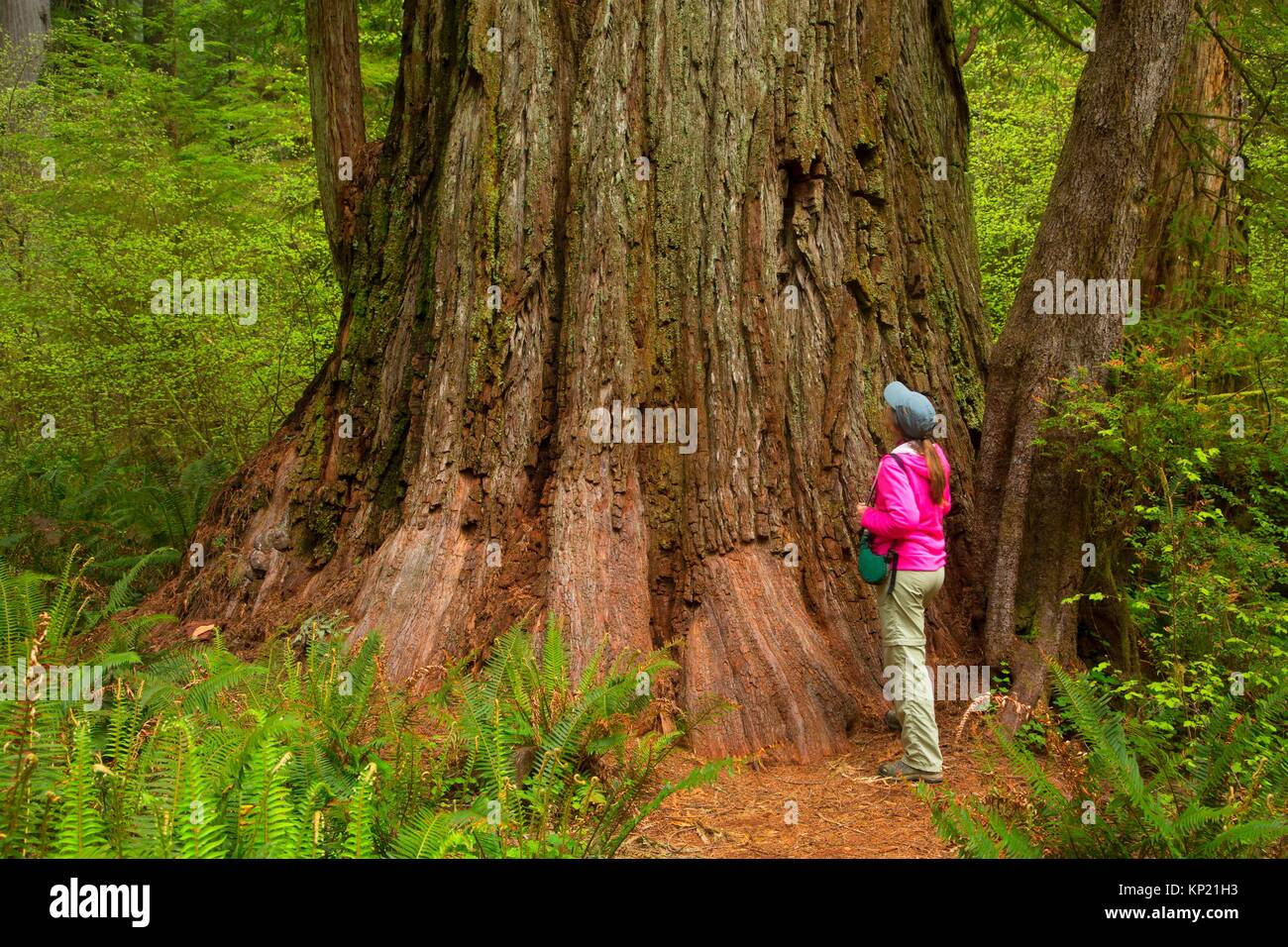 Hiker in Coast redwood (Sequoia sempervirens) forest along Simpson-Reed Discovery Trail, Jedediah Smith Redwoods - Stock Image