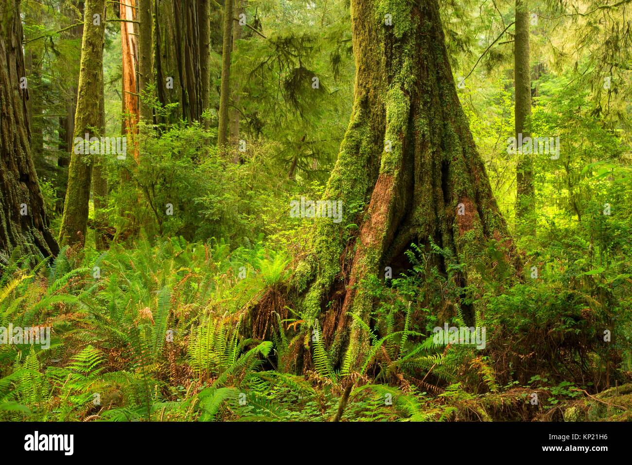 Nurse tree along Simpson-Reed Discovery Trail, Jedediah Smith Redwoods State Park, Redwood National Park, California. - Stock Image