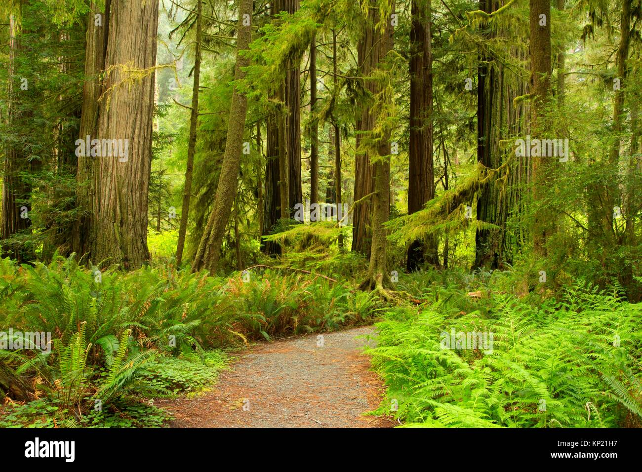 Coast redwood (Sequoia sempervirens) forest along Simpson-Reed Discovery Trail, Jedediah Smith Redwoods State Park, - Stock Image