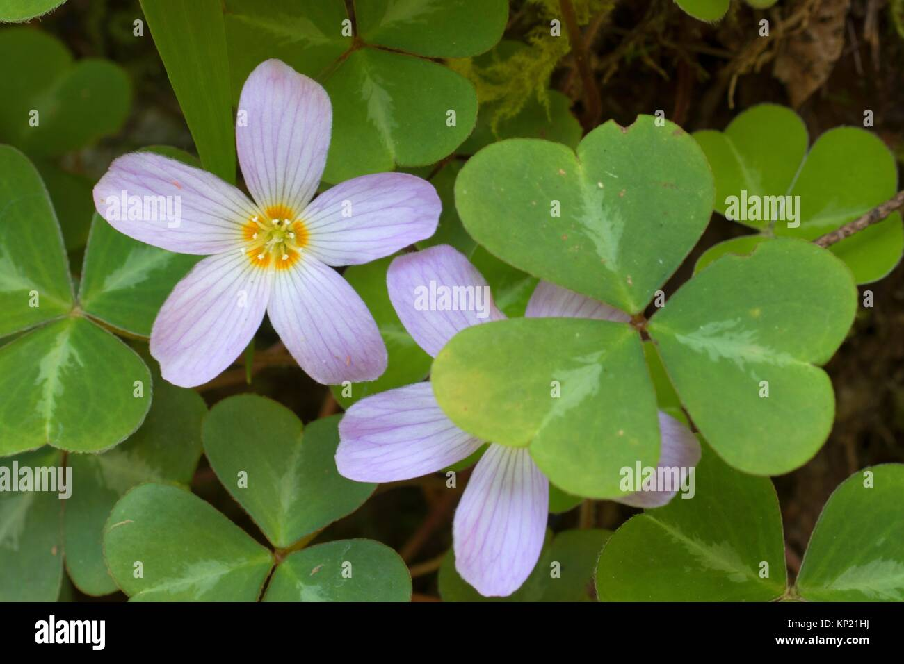 Wood sorrel bloom along Old South Kelsey Trail, Smith River National Recreation Area, Smith Wild and Scenic River, - Stock Image