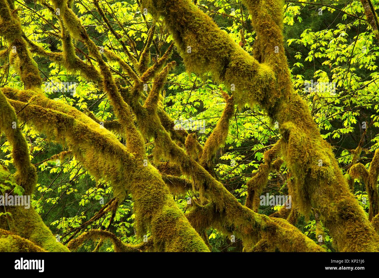 Bigleaf maple along Prairie Creek Trail, Prairie Creek Redwoods State Park, Redwood National Park, California. - Stock Image