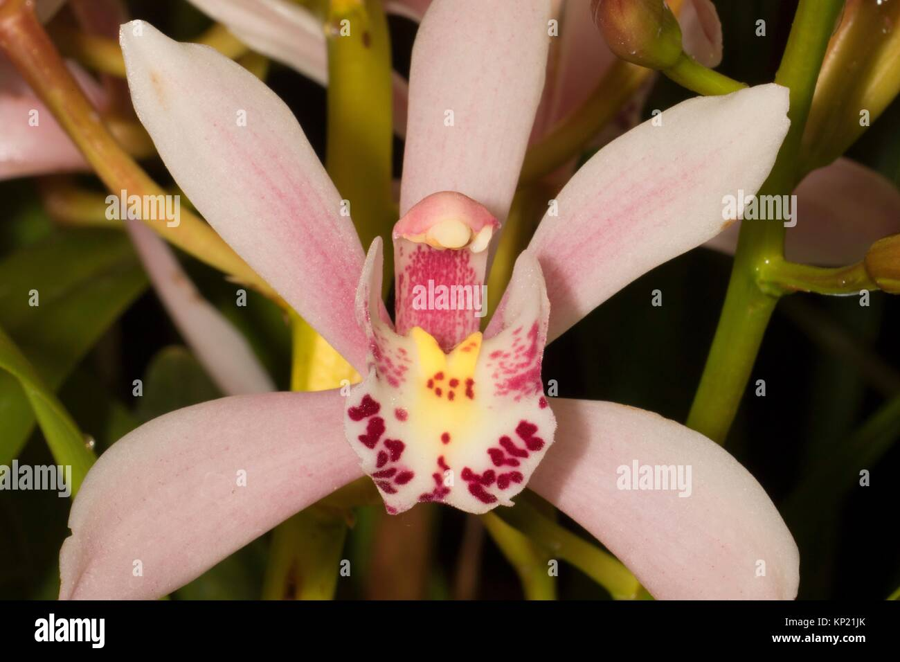 Cymbidium Sweetheart valentine's day orchid, Cherry City Orchid Society Show, Salem, Oregon. - Stock Image