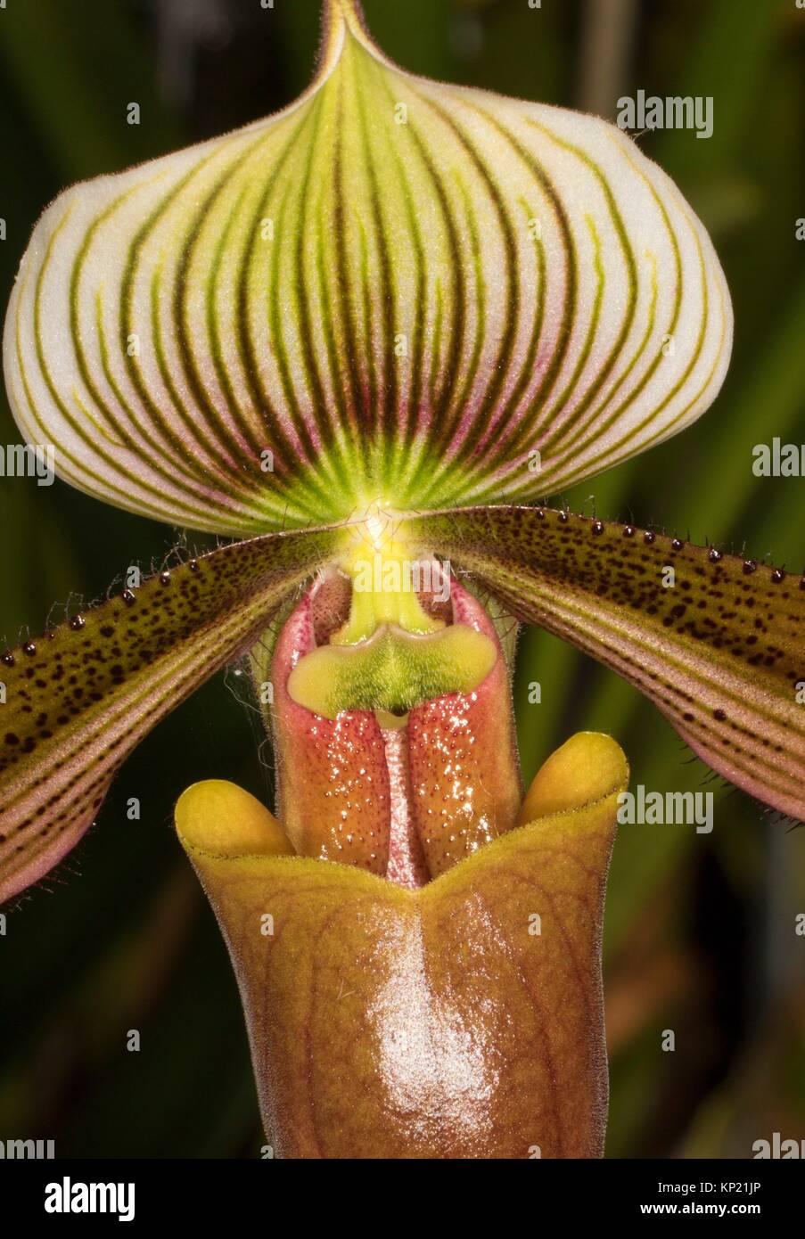 Paphiopedilum orchid, Cherry City Orchid Society Show, Salem, Oregon. Stock Photo